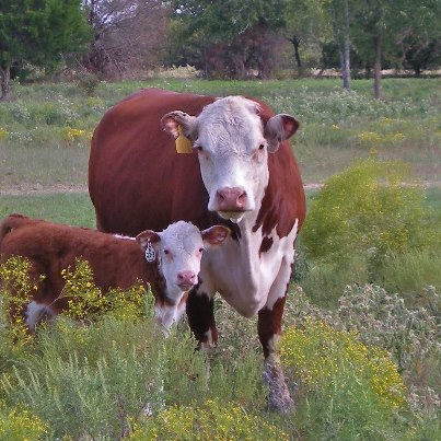 Taylor-Made Ranch Registered Hereford Cow and Calf