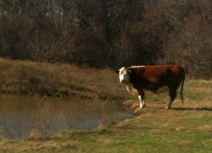 Registered Hereford Cow #TaylorMadeRanch