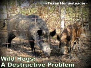 Wild hogs are destructive & plentiful. But they're just escaped domestic pigs - they're pork! See how we successfully trap them #TexasHomesteader