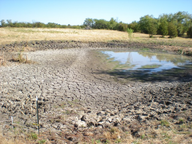 Drought drying up water supply in pasture pond. Temporary Stocker cows Offer flexibility on the ranch. More animals when the grass is plentiful, less during drought. #TexasHomesteader