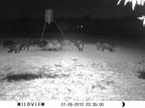 WILD HOGS: Making the Best of a Bad Situation! Wild hogs cause lots of damage to pastures, but they can also provide food #TaylorMadeHomestead