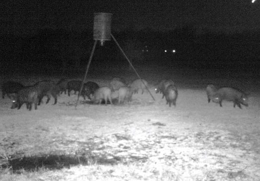 WILD HOGS: Making the Best of a Bad Situation! Wild hogs cause lots of damage to pastures, but they can also provide food #TexasHomesteader