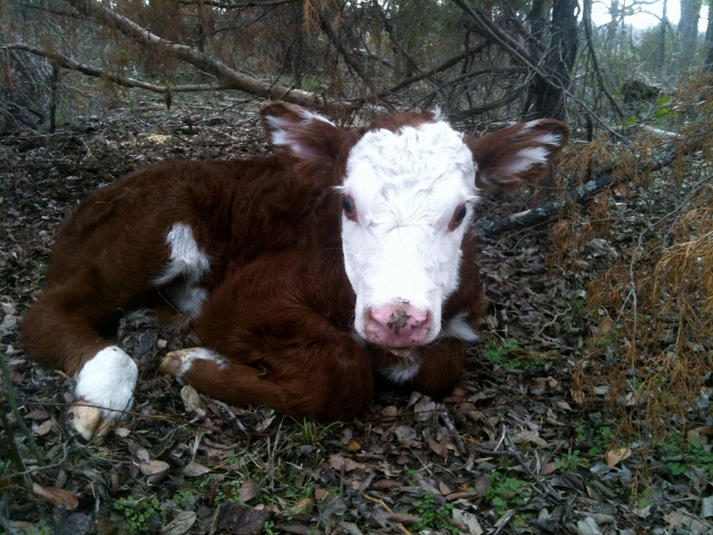 It's not hard for us to sell animals we've raised. It's a source of pride for us to raise quality, calm animals and we know we've given them a great life! #TxHomesteader