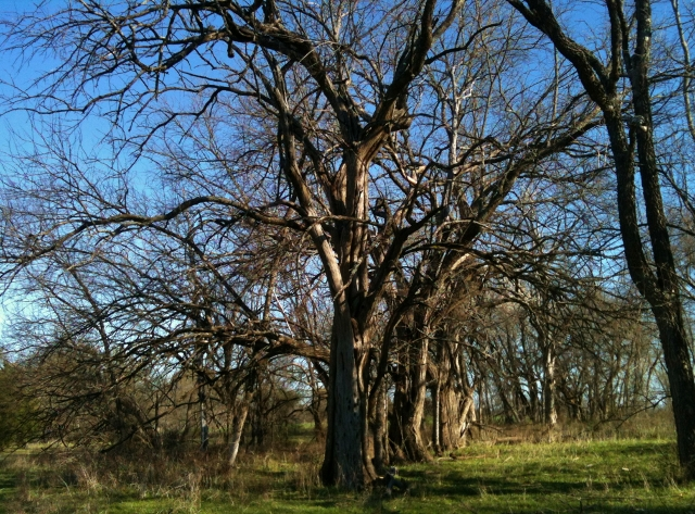 Bois D'Arc Fenceline - This beautiful tree is found on our NE Texas Homestead. The posts are rot resistant and very helpful on the homestead. #TxHomesteader