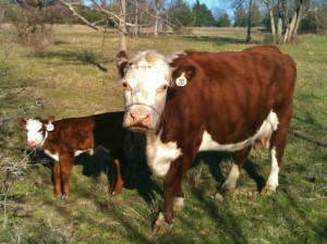A brand new Hereford heifer makes me smile! #TaylorMadeHomestead