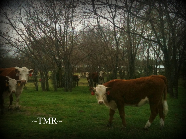 Taylor-Made Ranch New Herefords TMR