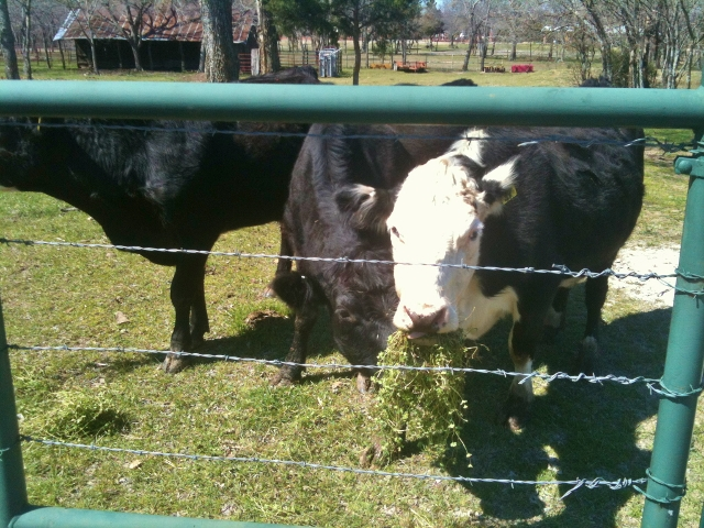 Taylor-Made Ranch cows eating weeds