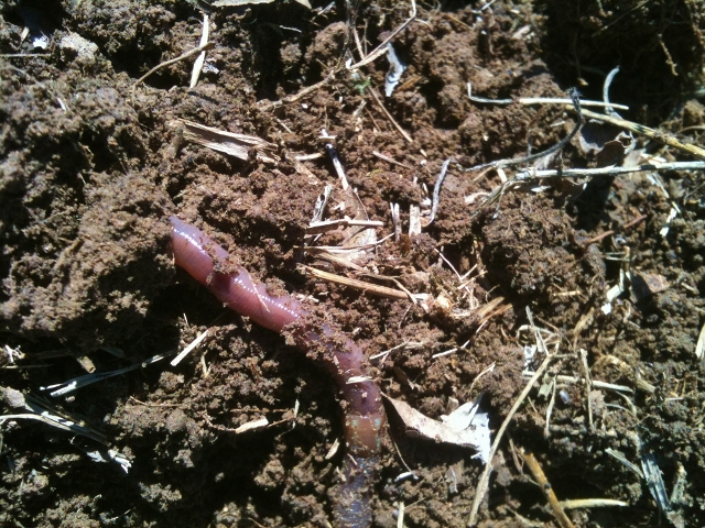 Taylor-Made Ranch earthworms