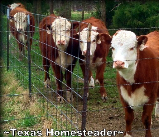 An after-hours late Sunday night vet call was made to save our registered Hereford calf. Read what he found! #TexasHomesteader
