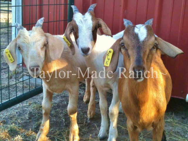 Wethers #TaylorMadeRanch