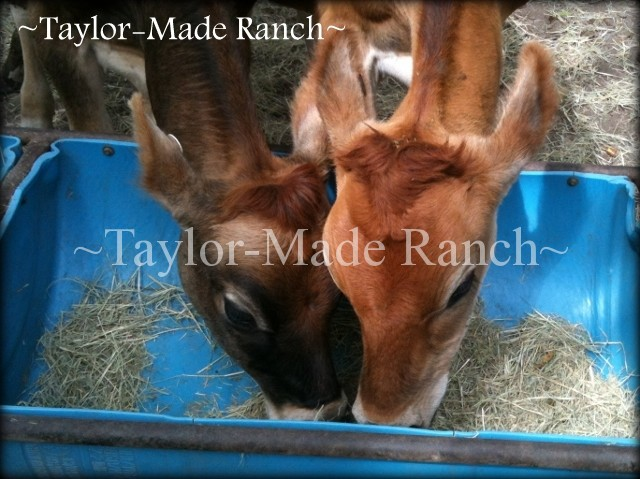 It's a sad fact of ranching life that sometimes you lose an animal to sickness or injury but doubly painful when you lose a calf from the seller's omission. #TaylorMadeHomestead