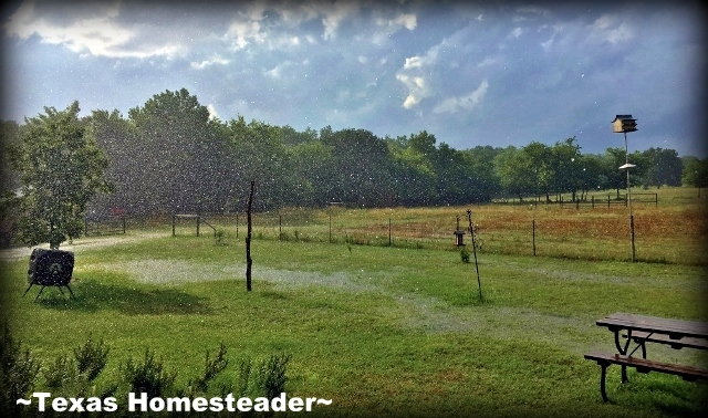 We suffered through our third consecutive year of drought - what a blessing to see rain! #TexasHomesteader