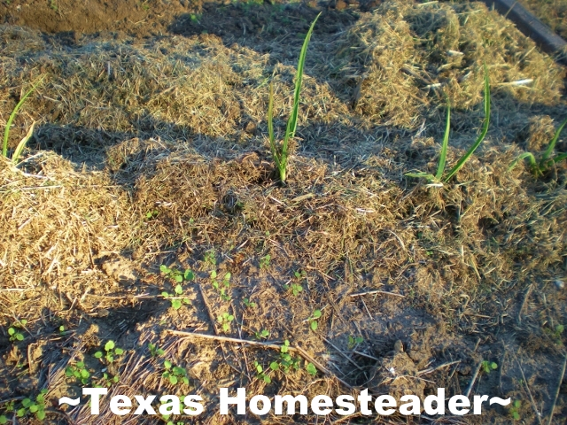 Where I thought were only dead onions are now green sprouts. I've dug the doubled-up onions, separated them & replanted. #TexasHomesteader