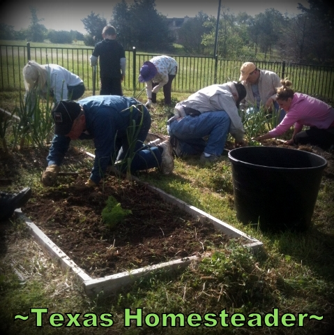 The Garden That LOVE Planted! I couldn't plant a veggie garden due to health. Then several people showed their love by showing up to help. #TexasHomesteader