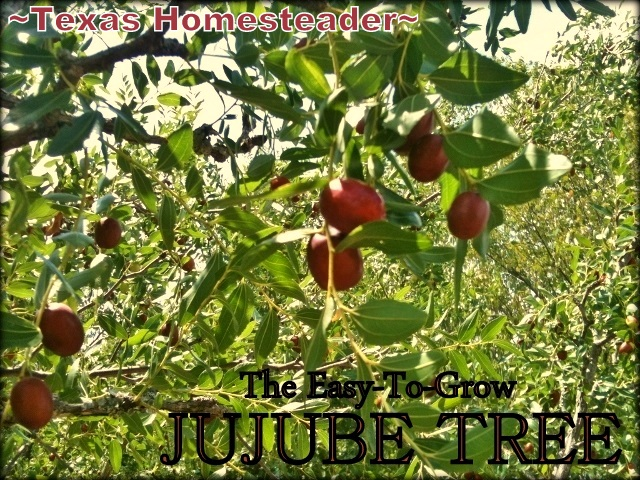 Jujube Trees and Fruit. Evidence of an old abandoned homestead. It has an 1880's barn, orchard of jujube trees & is in need of TLC! #TexasHomesteader