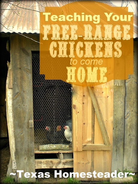 See how we get our new chickens to free range during the day yet come back to the coop each night to be locked securely from predators. #TexasHomesteader