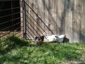 See how we get our new chickens to free range during the day yet come back to the coop each night to be locked securely from predators. #TxHomesteader