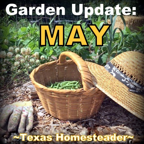 May is a great month for the garden. C'mon and walk with me through the veggie garden & let's see what's growing on these days. #TexasHomesteader