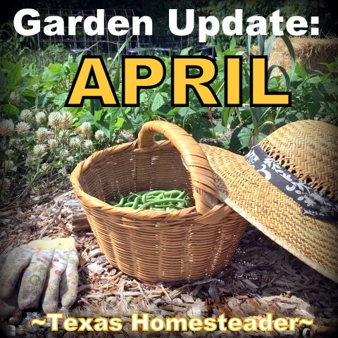 Spring is here, in NE Texas it's time to get busy in the vegetable garden! Come see the progress in my April garden update. #TexasHomesteader