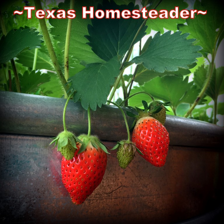 Ever-Bearing Strawberries. May is typically a great month for the garden. C'mon and walk with me through the veggie garden & let's see what's growing on these days. #TexasHomesteader