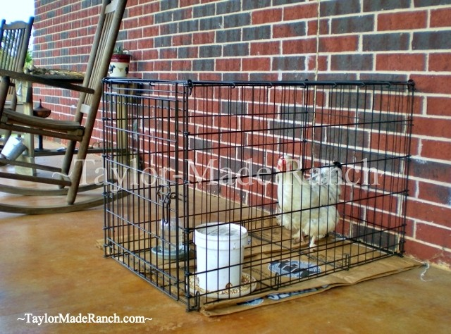 A broody hen won't lay the eggs we count on - See what we did to successfully & quickly break the Moody Broody Hen! #TaylorMadeHomestead