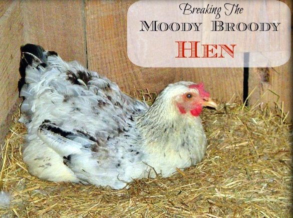 A broody hen won't lay the eggs that we count on - See what we did to successfully & quickly break the Moody Broody Hen! #TxHomesteader