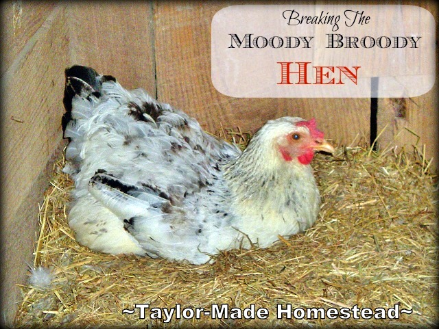 A broody hen won't lay the eggs that we count on - See what we did to successfully & quickly break the Moody Broody Hen! #TaylorMadeHomestead