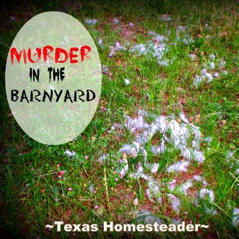 Mysterious daytime predators have been taking our hens. Coyotes? Hawks? Bobcats? Something else? We don't know. Offer advice if you can. #TexasHomesteader