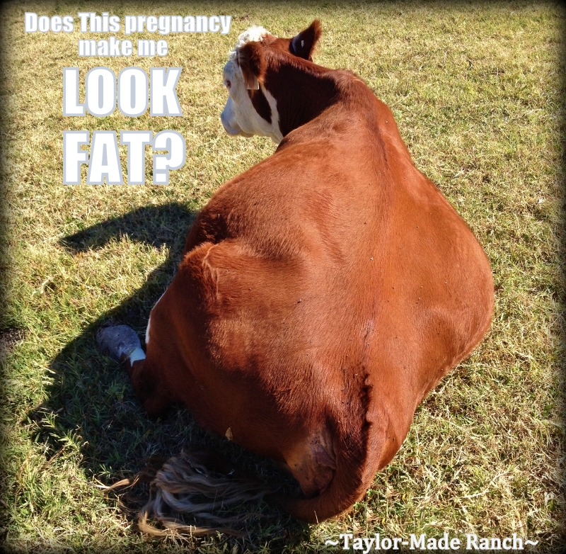 Wordless Wednesday: Does This Pregnancy Make Me Look FAT? #TaylorMadeRanch