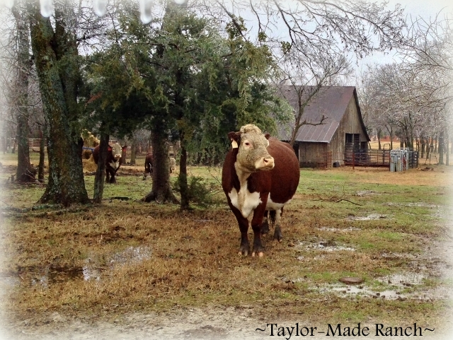 When I was a kid I didn't understand why cars didn't get CLEANER when it rained.  This morning I'm having a flashback to those days... LOL #TaylorMadeRanch