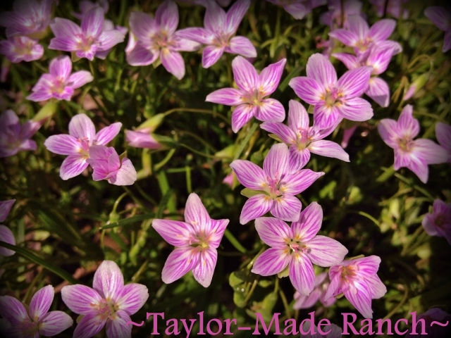 Wordless Wednesday: These tiny blossoms are delicate beauty right beneath your feet.  #TaylorMadeRanch