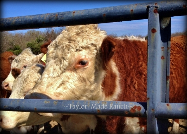 "Wordless Wednesday - RancherMan refers to our beefy bull as ""The Boy"".  LOL  #TaylorMadeRanch"