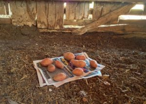 Potatoes stored in barn. Storing Potatoes Long-Term: I've heard that you can store potatoes for months on end if you do it right. I need some advice! #TxHomesteader