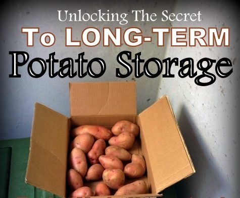 Storing Potatoes Long-Term: I've heard that you can store potatoes for months on end if you do it right. I need some potato-storage advice! #TxHomesteader