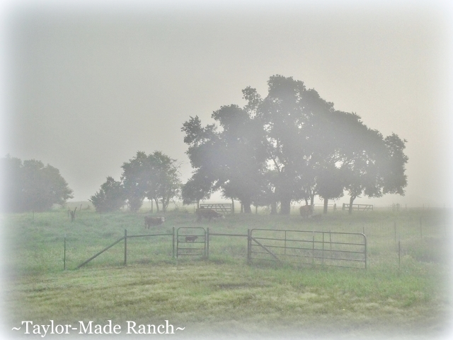 Wordless Wednesday: Although precipitation isn't forecast until this evening, moisture rises from the waterlogged ground as fog this morning. #TaylorMadeRanch