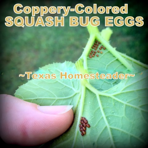 Squash bug eggs. A naughty bull jumped the garden fence and trampled everything. But it was all replanted quickly and has rebounded. #TexasHomesteader