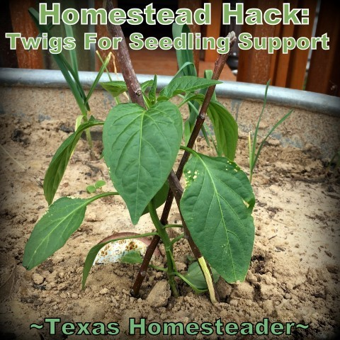 Twigs to prop tender seedlings. Keep the cost of vegetable gardening low by thinking outside the box. Come see the various items we use to fill needs in the garden. #TexasHomesteader