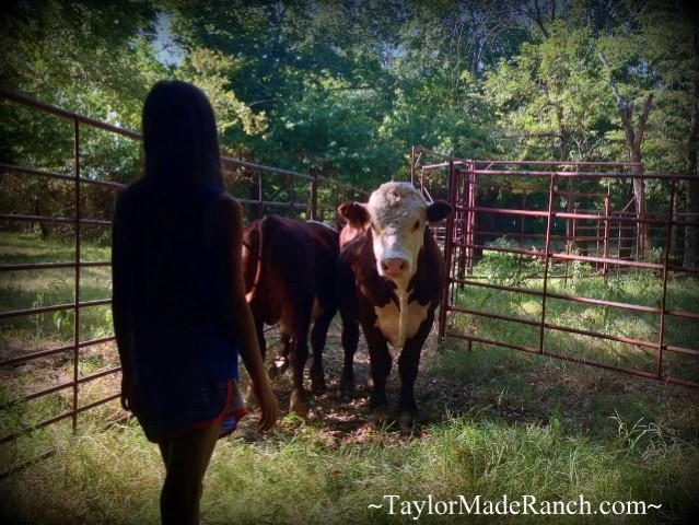 Wordless Wednesday: When our yearling bull was sold, our young granddaughter had a hard time saying goodbye to her favorite 'Little Buddy'.  #TaylorMadeRanch