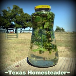Infusing Rainwater With Fresh Mint. COLD PROCESS LAVENDER / ROSEMARY SOAP. Making homemade soap is easy and fun, and makes great gifts! See my recipe complete with photos. #TexasHomesteader