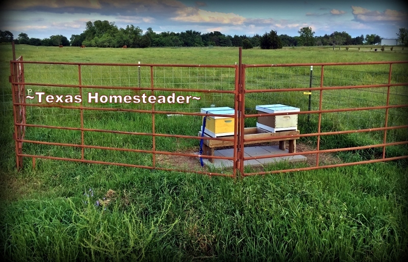 We're new to beekeeping and have learned much, with much yet to learn. See what we did when we brought our first hives of bees home! #TexasHomesteader
