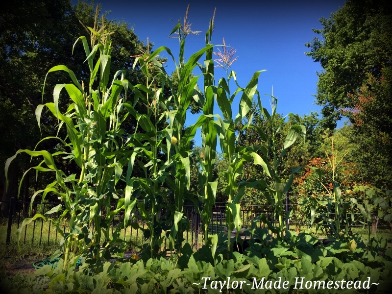 "Wordless Wednesday. Sing it with me, y'all: ""The Corn Is As High As An Elephant's Eye!) DANG, my corn has never grown this tall before! #TaylorMadeHomestead"