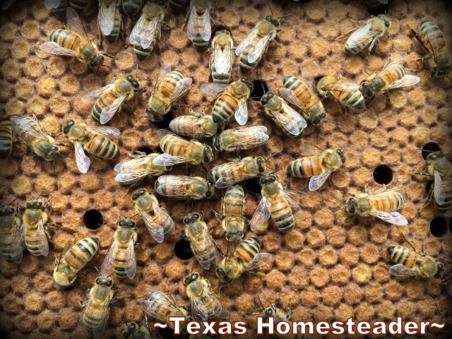 Frames filled with capped brood. Beginning Beekeeping Series: Today we're talking about why and how to expand your bee hives. (We're using Langstroth hives) #TexasHomesteader