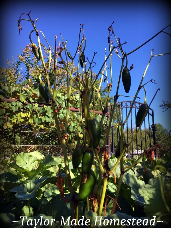 Usually by August our NE Texas vegetable garden is burned up & gone.but this year I'm still harvesting heavily every day. dying jalapeno plant #TaylorMadeHomestead