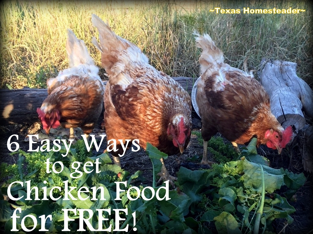 I've learned how to make our hens work for their food & I found many easy ways to get lots of chicken food FREE for them! #TexasHomesteader