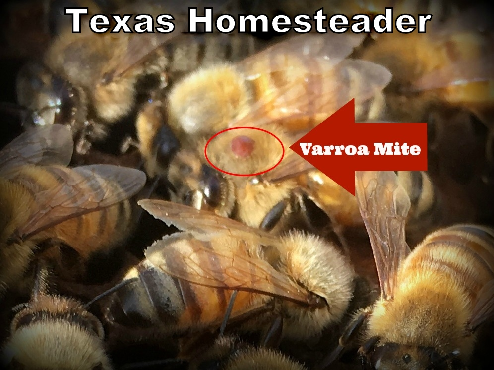 Varroa Mites are a constant worry in bee hives. Detection & treatment is important see how we treat Varroa mites #TexasHomesteader