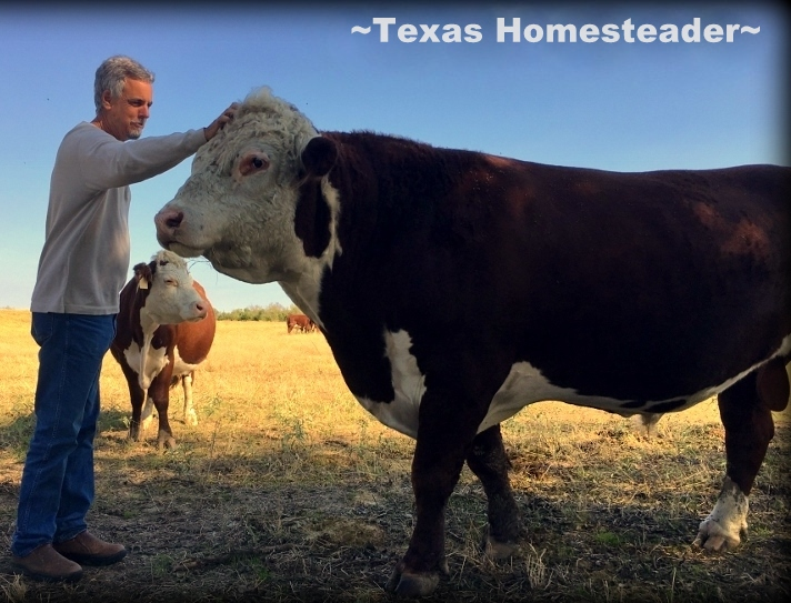 """A Boy And His (very BIG) Dog"" LOL! Our big registered Hereford bull is just a big puppy, he loves to have his head scratched! #TexasHomesteader"