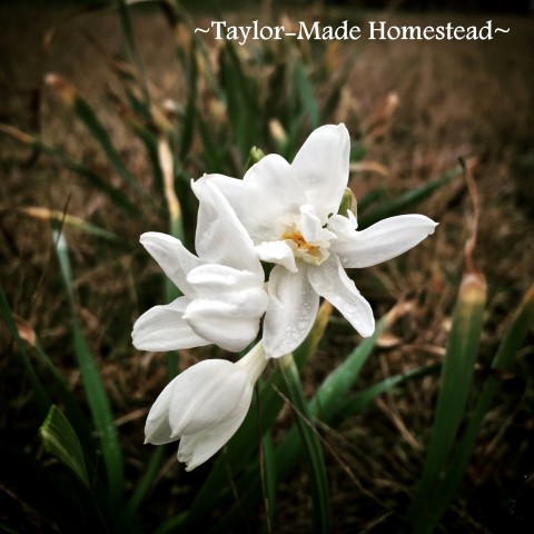 These pretty blooms will disappear soon. I planted them just off our back porch so I could see the 1st bloom of spring from our window #TaylorMadeHomestead