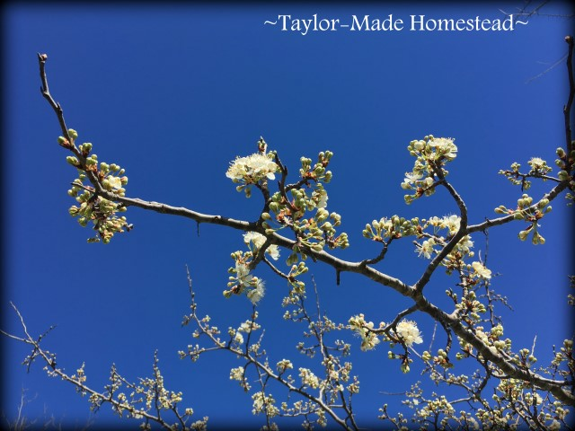 The beautiful blooms on this wild plum tree in our pasture give the promise that spring is on the way! #TaylorMadeHomestead