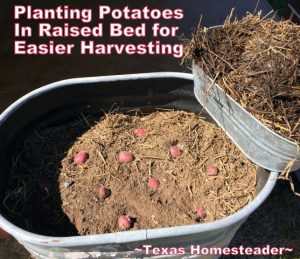 Planting potatoes in galvanized water trough for easier harvest. Planting large galvanized water troughs for edible beauty around your home. It's easy and can be done inexpensively too. #TexasHomesteader