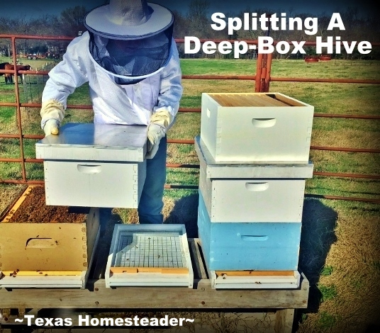 Our hives made it through the winter fine. Now that spring is around the corner production is ramping up. It's time to do a hive split! #TexasHomesteader